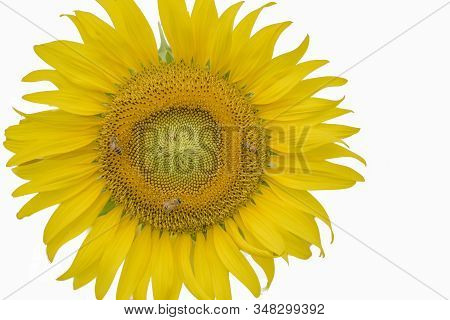Sunflowers On A White Background With Copy Space