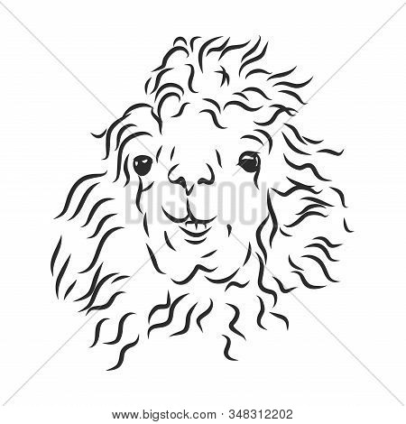 Shaggy Llama Alpaca Portrait, Vector Sketch Illustration