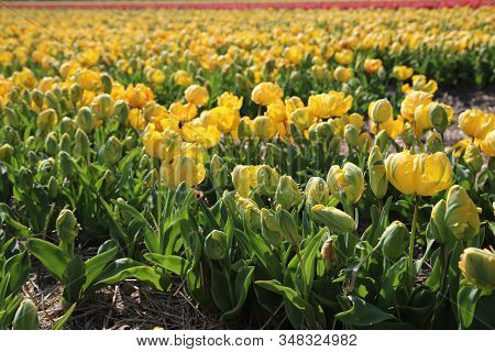 Tulips In The Spring In The Netherlands