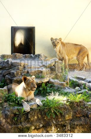 Two Lioness