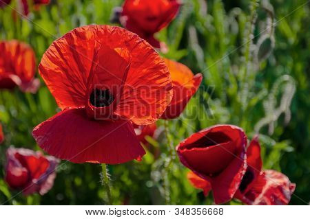 Blooming Field Of Red Poppy Flowers At Sunset. Abstract Nature Blur. Nature Scenery With Blurred Bac