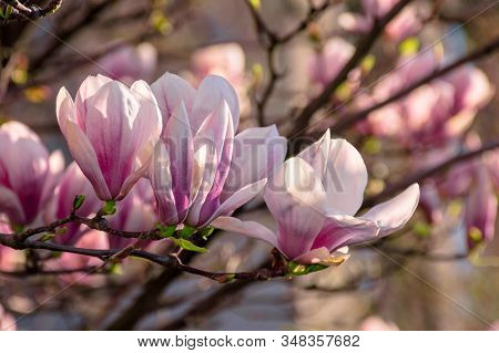 Magnolia Tree Blossom In Springtime. Tender Pink Flowers Bathing In Sunlight. Warm April Weather