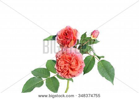 Lovely Rose Branch With Two Coral Flowers, Bud And Green Leaves On Stem Isolated On White Background
