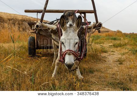 Donkey With A Cart In The Field, Donkey Looks At The Camera