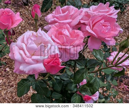 Beauty In Nature Image. Pretty Pink Roses Closeup In A Garden Setting On A Bright Sunny Day. Gosford