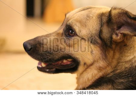 Mixed Breed Dog Portrait At Home. Domestic Animal With Smart Brown Eyes. Drop Or Pendant Ears. Large