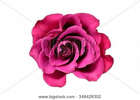 Sigle Royal Purple Rose Flower With Big Petals On White White Background Isolated And Clipping Path.