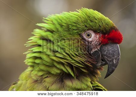 Military Macaw (ara Militaris).  The Photo Of The Military Macaw Was Taken In An Animal Sanctuary In