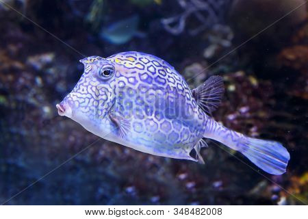 Honeycomb Cowfish (acanthostraction Polygonius) Underwater In The Tropical Caribbean Sea. Soft Focus