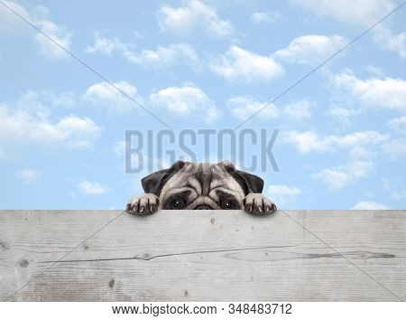 Cute Shy Peekaboo Pug Puppy Dog Peeking, With Paws On Wooden Fence Banner, With Blue Sky Background