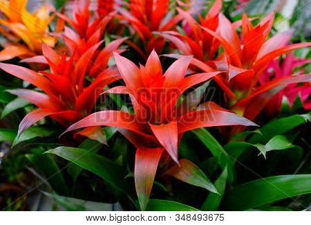 Blossom Of Guzmania Bromelia. Sale. Pot Plants, Indoor Plants, Tropical Plants. Several Plants Are L