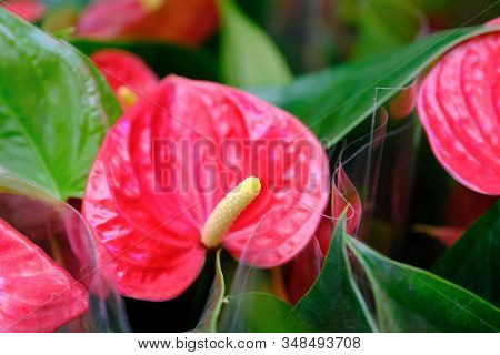 Anthurium Wedding Flower. Anthurium Flower With Green Leaves In Close-up Image, With Very Narrow Dep