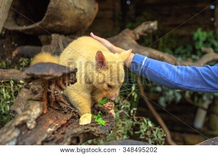 Woman feed golden brushtail possum in a park. Encounter with Australian marsupial animal in Australia. The color is a genetic mutation, only in Tasmania. Australian wildlife in nature. poster