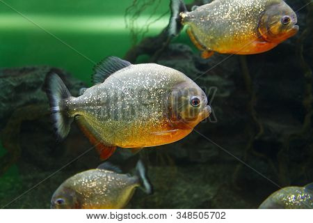 School Of Red-bellied Piranha (pygocentrus Nattereri), Also Known As The Red Piranha In Their Habita