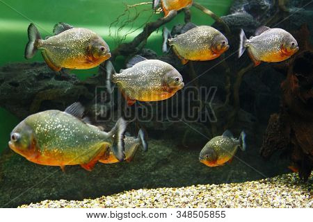 School Of Red Piranha (pygocentrus Nattereri), Also Known As The Red-bellied Piranha, Red Belly Pira