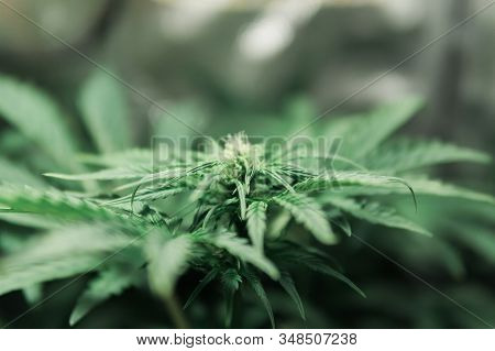 Growing Cannabis. Weed For Recreational Purposes. Indoor Grow Weed Cultivation. Cannabis Growing In