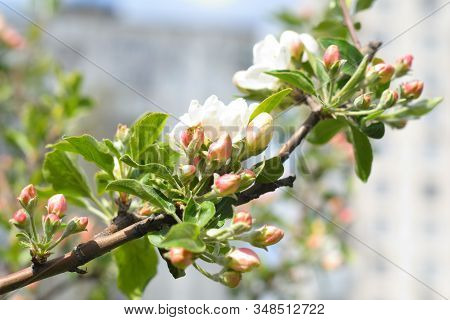 Tender Apple Tree On A Spring Day.blooming Apple Tree Branch, White Flowers Of Apple Tree.against Th