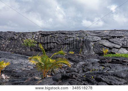 Kaimu Beach, Hawaii, Usa. - January 14, 2020: Young Palm Tree On Top Of Hardened Black Lava Field Of