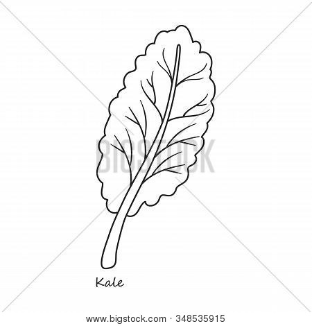 Kale Vector Icon.outline, Line Vector Icon Isolated On White Background Kale.