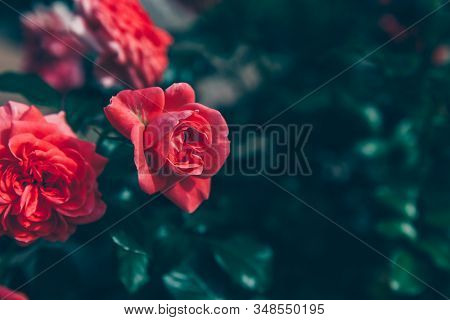 Beautiful Pink Rose Flowers In Summer Time. Nature Background With Flowering Red Roses. Inspirationa