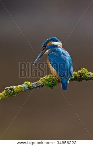 Gemeinsame Kingfisher Alcedo Atthis Männchen
