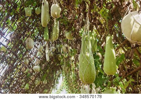 Calabash Gourd Or Bottle Gourd Hanging On The Vine Plant Tree (lagenaria Siceraria), Long Winter Mel