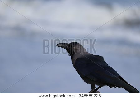 Carrion Crow (corvus Crow) Black Bird Perched On Branch And Looking At Camera With Blur Beach Backgr