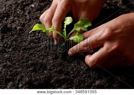 Close Up Farmer Hand Planting Sprout (green Oak Lettuce) In Fertile Soil.