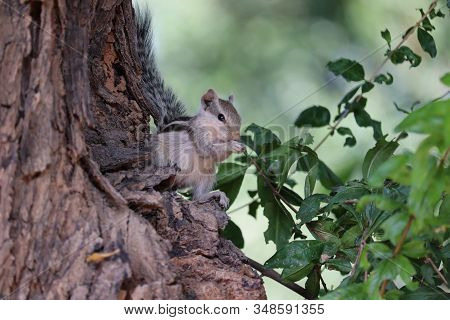 A Squirrel Eating Berry On Dead Tree In Nature , Outdoor Squirrels Mammals, Monkeys Squirrel, Close