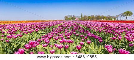 Panorama Of A Purple Tulips Field In Noordoostpolder, Holland