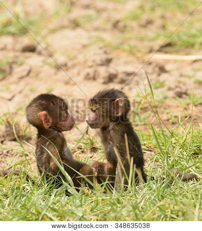 Closeup of Olive Baboon babies studying each other (scientific name: papio anubis, or Nyani in Swaheli) in Lake Manyara National park, Tanzania