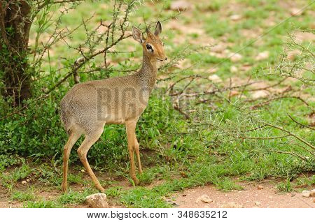 Closeup of Kirk's Dik-dik (scientific name: Madoqua , or