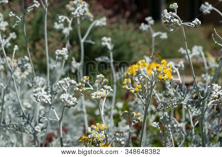 Silver Ragwort Yellow Flowers On The Flowerbed. Jacobaea Maritima Blooming Plant Floral Background