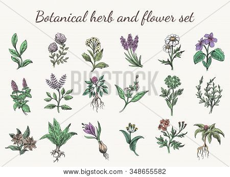 Vintage Color Herbs And Flowers Drawing. Colorful Spring Botanical Cartoon Herb And Flower Set Sketc