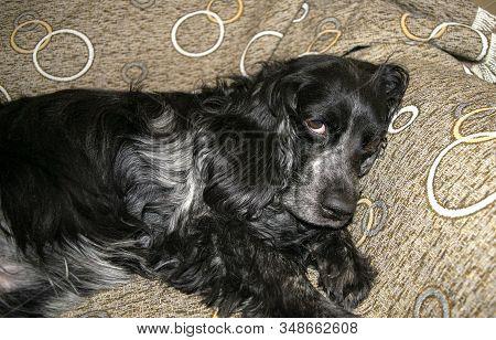 Beautiful Black Spaniel Dog Is Resting On A Sofa. Russian Spaniel Portrait. Lazy Dog Looking Straigh