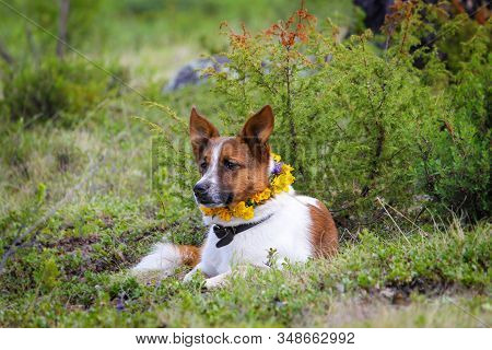 A White-red Dog With A Collar And A Necklace Of Yellow Flowers Is Resting In Nature.