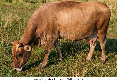 Brown cow grazing in fresh pasture