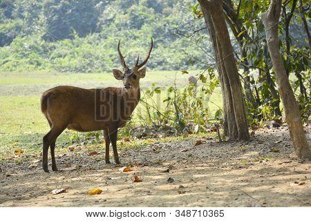 Hog Deer On Green National Park In Myanmar
