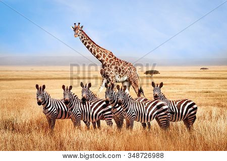 Group Of Wild Zebras And Giraffe In The African Savanna Against The Beautiful Blue Sky With White Cl