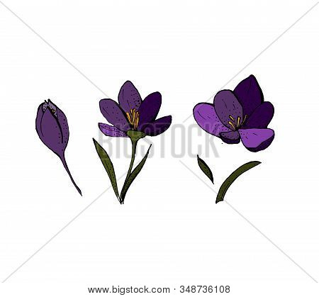 Set Of Saffron Flower Elements. Spring Flowers. Purple And Green. Vector Illustration.