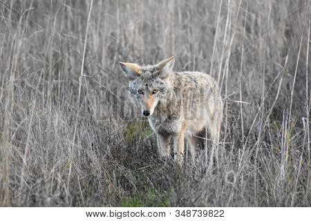California Coyote Hunting In Wetland In Northern California