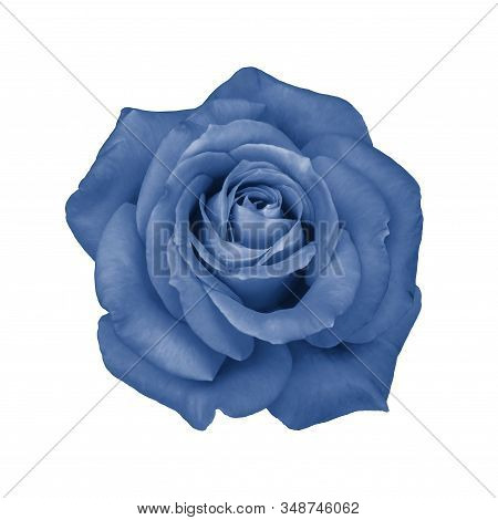 Fresh Rose Flower Isolated On White. Isolate Blossom Rose Tinted In Trendy Classic Blue Color. Beaut