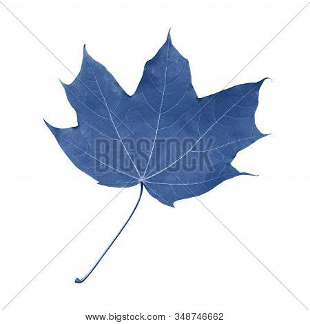 Single Maple Leaf With Petiole Isolate Tinted In Trend Color Classic Blue, Single Fresh Natural Mapl