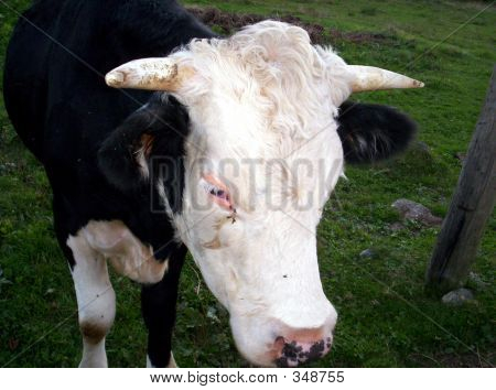 Beef Cattle Cow