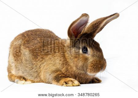 Small Fluffy Red Rabbit Isolated On White Background. Hare For Easter Close-up. Red Live Rabbit On A