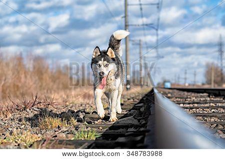 Husky Dog On The Train Tracks During A Nature Walk