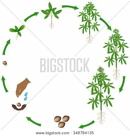 Life Cycle Of A Cannabis Plant On A White Background.