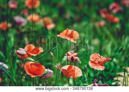 Summer Meadow With Red Poppies Field Of Wild Of Different Colored Species Red Purple Yellow Growing