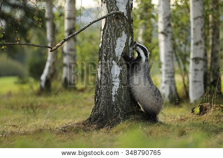 Badger Stay Near Tree  In Forest, Animal Nature Habitat, Germany, Europe. Wildlife Scene. Wild Badge