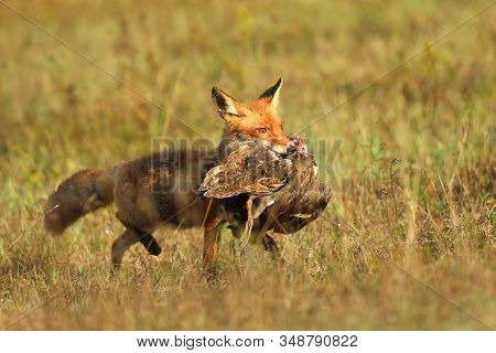 Red Fox After Hunting, Vulpes Vulpes, Wildlife Scene From Europe.portrait Of Fox With Prey On  Meado